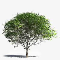 realistic generic deciduous tree model