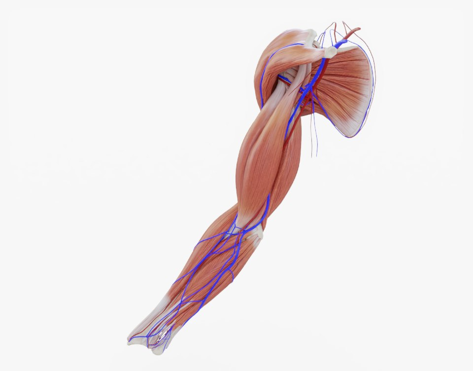 3d Arm Muscle Bones Veins Turbosquid 1312774