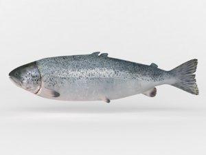 salmon fish 3D