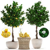 lemon tree fruit model