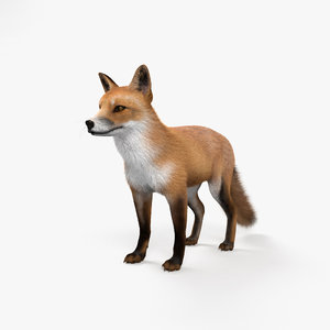 3D european red fox model