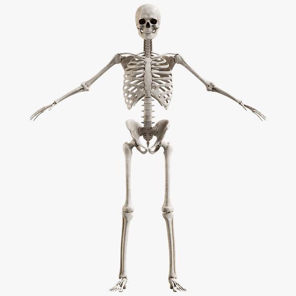 male skeleton 3D