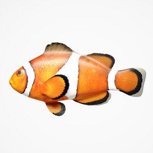 3D clownfish fish model