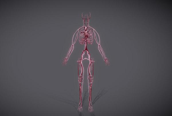 3D heart science anatomy model