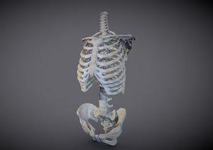 human torso skeleton 3D model