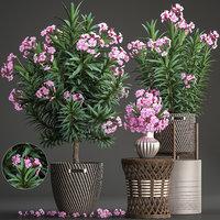 nerium oleander 3D