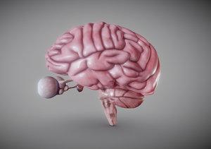 3D brain stem model