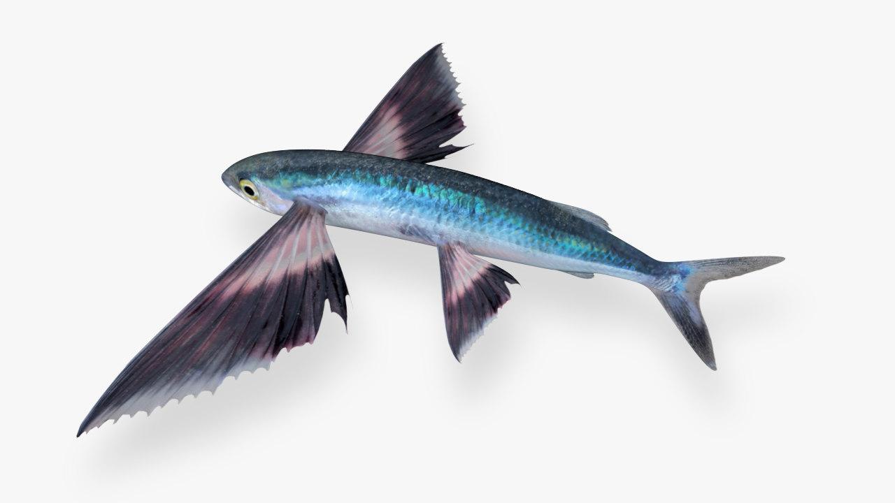 3D mirrorwing flyingfish