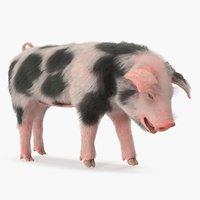 pig piglet pietrain standing 3D model
