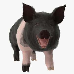 3D hampshire pig sow fur