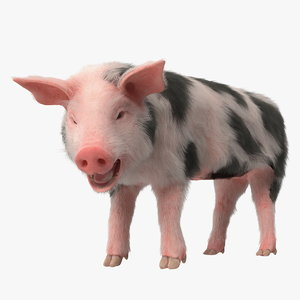 3D pig piglet pietrain fur
