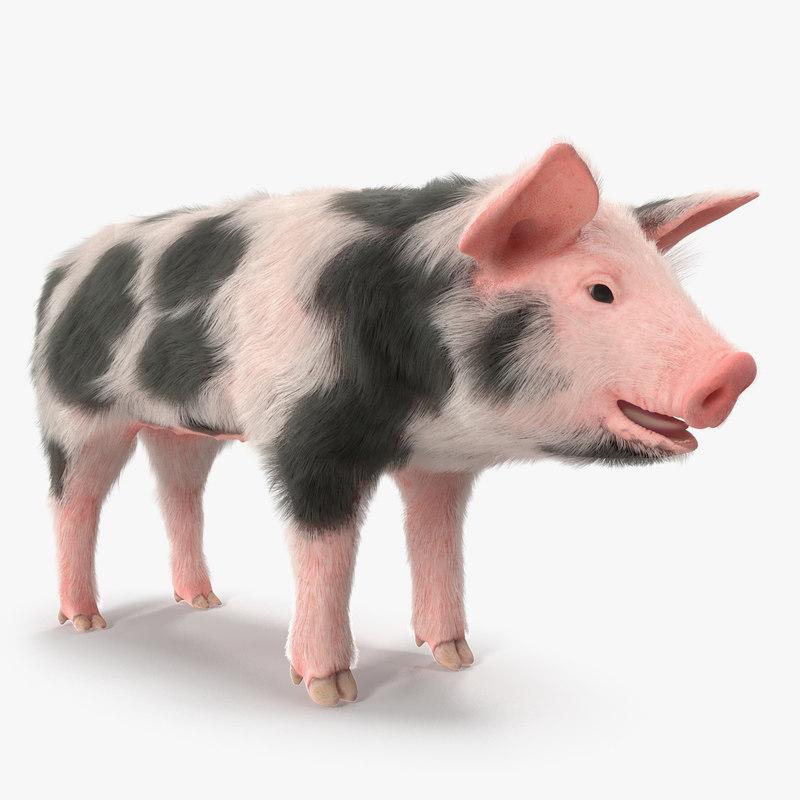 3D model pig piglet pietrain fur - TurboSquid 1370962