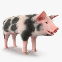 3D model pig piglet pietrain fur