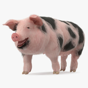 pig sow peitrain walking 3D model