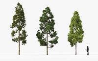 Cryptomeria japonica Japanese cedar