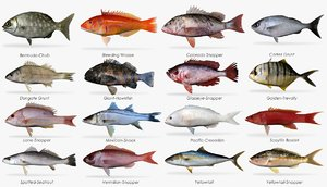 3d saltwater fish model