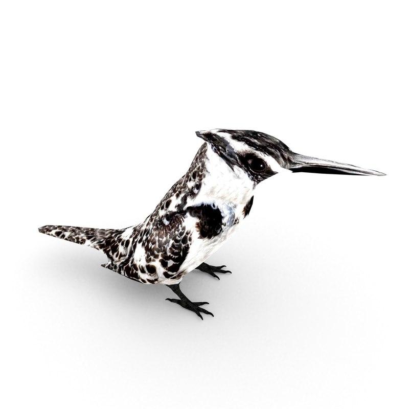 pied kingfisher ceryle rudis model