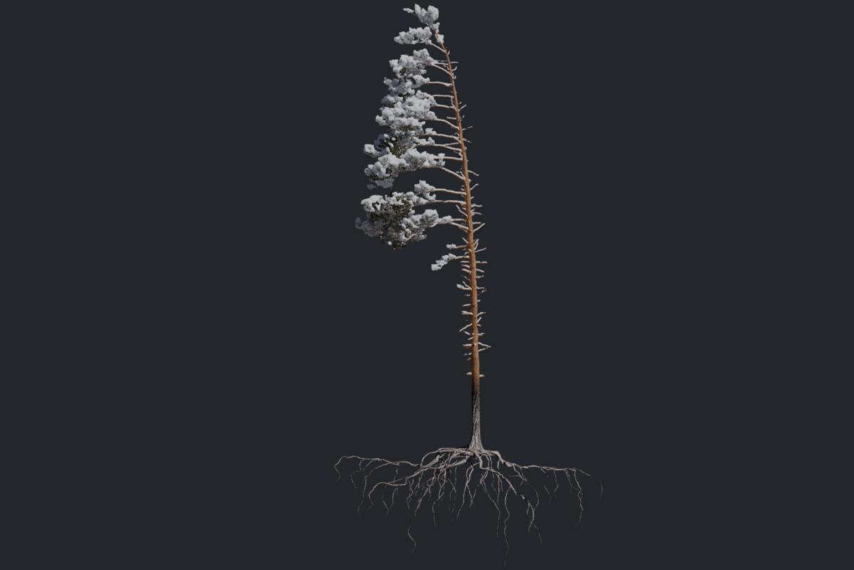 winter pine tree pack 3D model