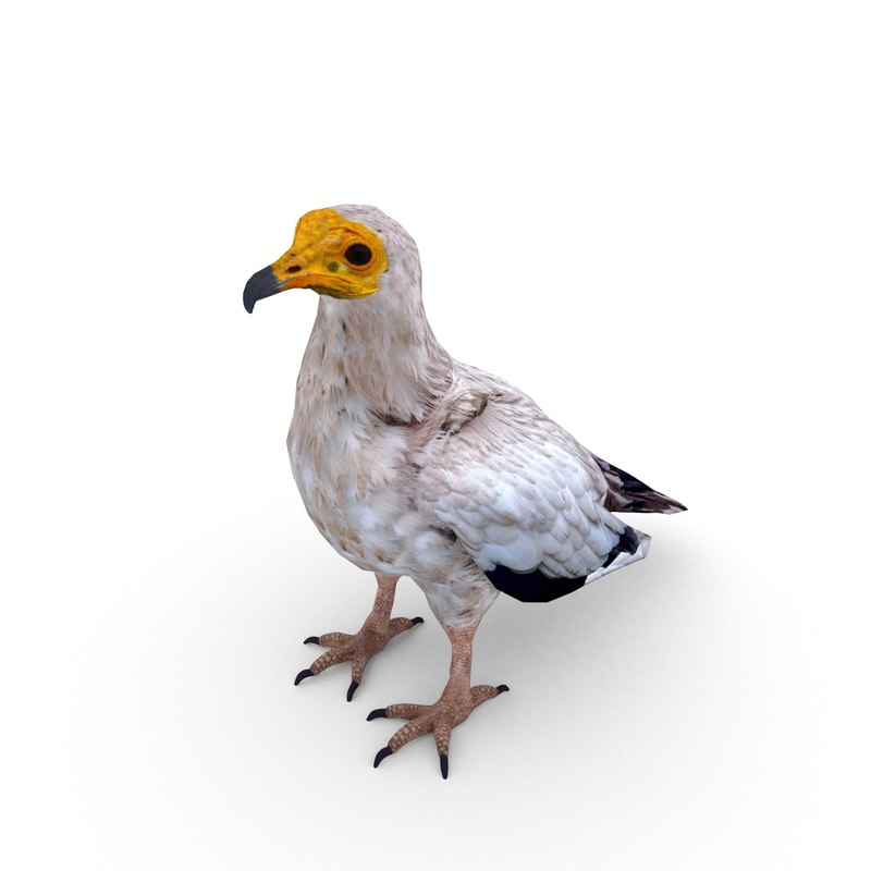 egyptian vulture neophron percnopterus model