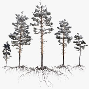 winter pine tree pack 3D model
