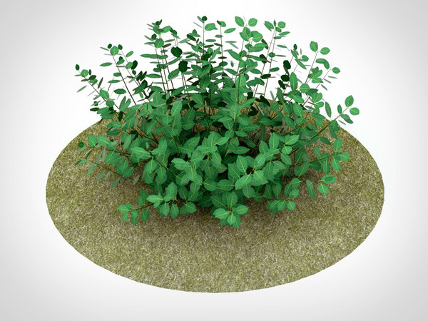 euonymus fortunei plant nature 3D