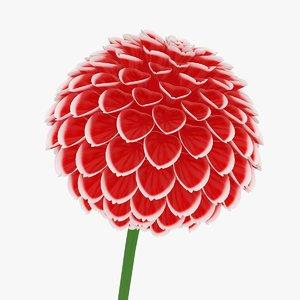 dahlia red white model