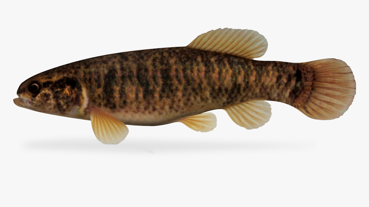 central mudminnow 3D model