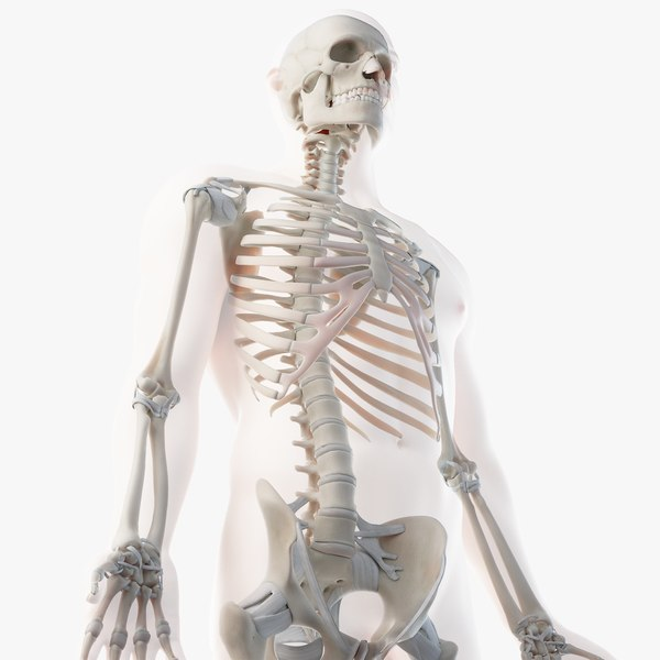 3D male skin skeleton ligaments model