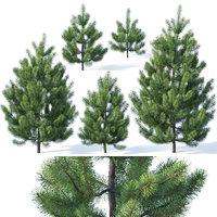 3D pines needles model