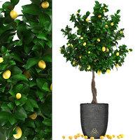lemon tree fruit 3 3D