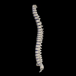 rigged human spine model