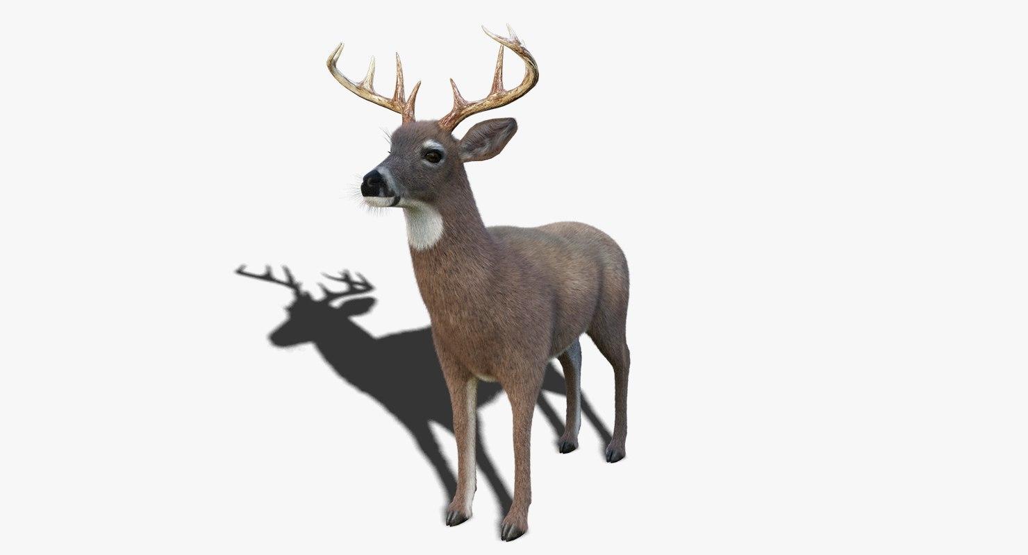 white tailed deer 3 3D model