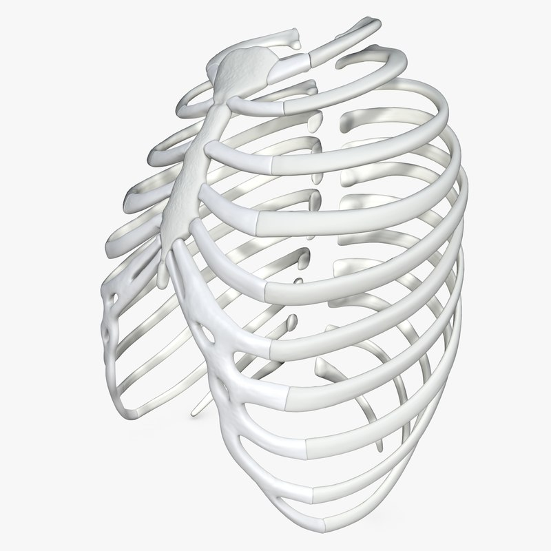 3D rib cage modeled model
