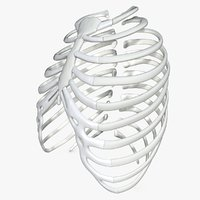 Rib cage without texture 3D model