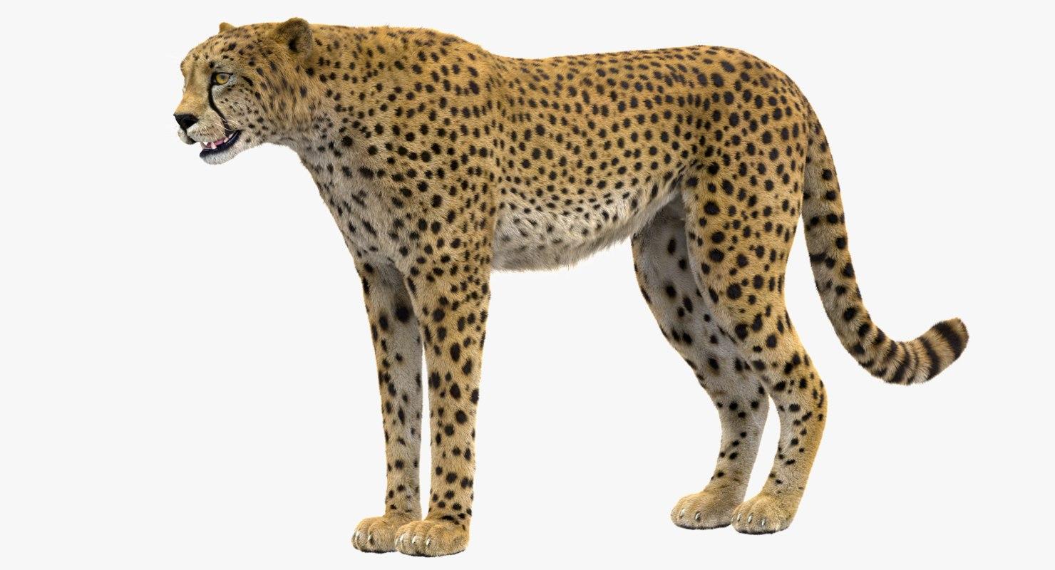 3D model cheetah rigged fur