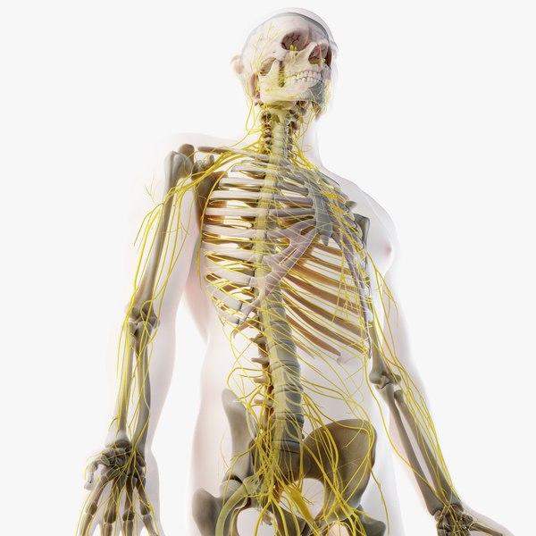 3D male skin skeleton nerves model