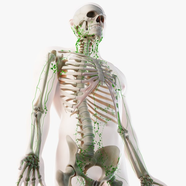 male skin skeleton lymphatic 3D model