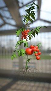 3D tomato leaf botanic