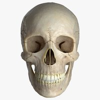 3D female skull bone