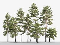 Pinus Sylvestris Pack #2