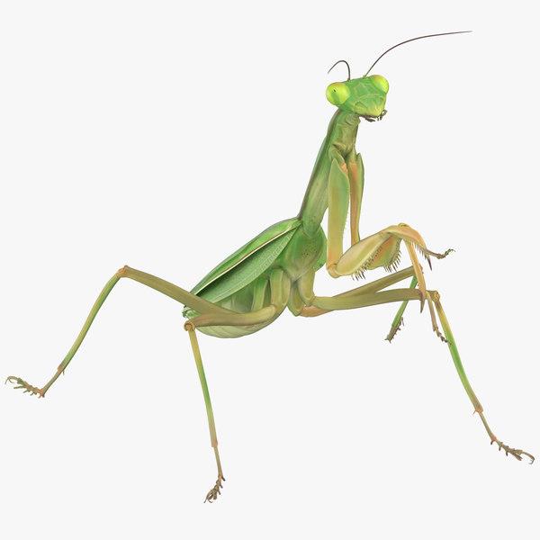 praying mantis standing 3D