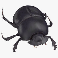 Black Scarab Beetle Walking 01