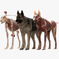 Shepherd Dog Anatomy