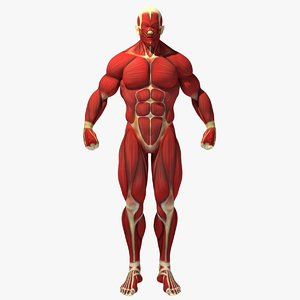 muscle anatomy reference 3D model