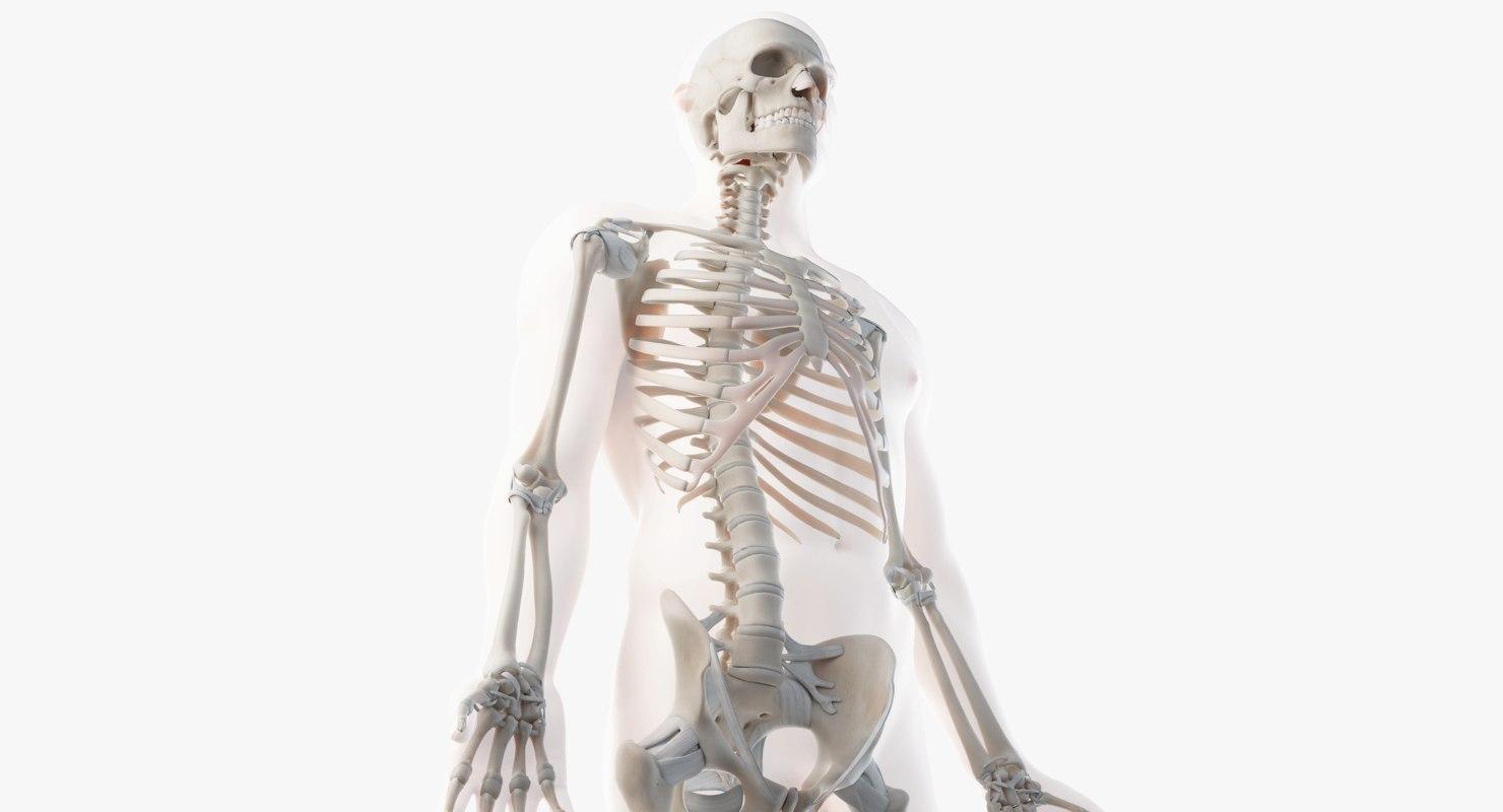 3D male skin skeleton ligaments model