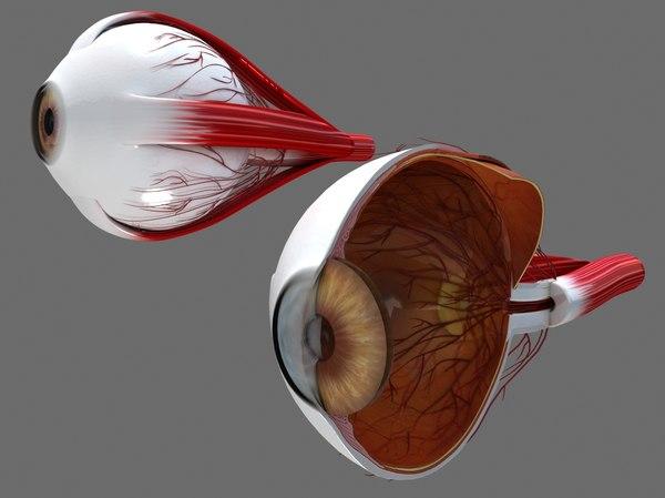 human eye ball cross-section 3D model