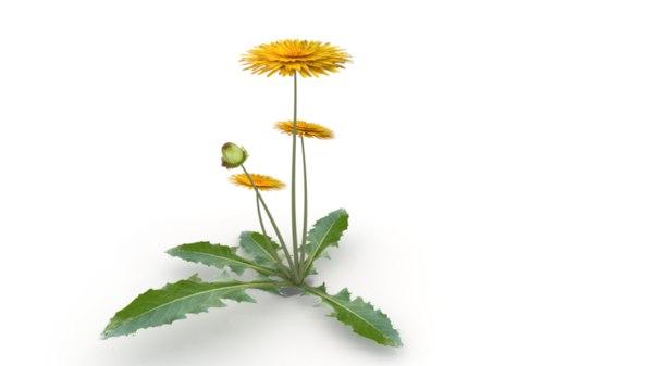 3D dandelion flower plant