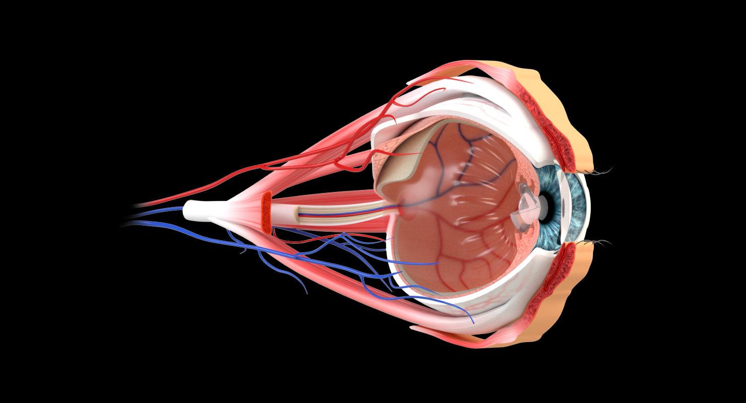 eye section model