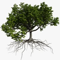oak summer 3 tree 3D model