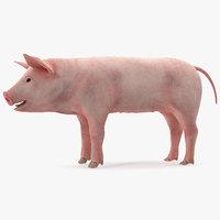pig piglet landrace rigged 3D model
